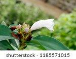 white flower of cheilocostus... | Shutterstock . vector #1185571015
