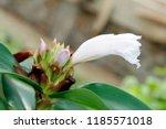 white flower of cheilocostus... | Shutterstock . vector #1185571018