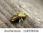 Small photo of A macro photo of a Green Stink Bug / Green Soldier Bug / Acrosternum Hilare
