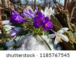 purple and white crocus flowers ... | Shutterstock . vector #1185767545