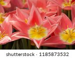 bouquet of blossoming pink... | Shutterstock . vector #1185873532