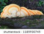 mushroom growing on the side of ...   Shutterstock . vector #1185930745