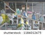 mixed budgerigar aviary | Shutterstock . vector #1186012675