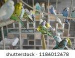 mixed budgerigar aviary | Shutterstock . vector #1186012678