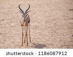 Springbuck Adult Ram