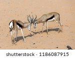 Springbuck Rams Sparring