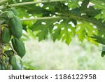 papaya fruit on wooden...   Shutterstock . vector #1186122958