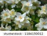 syringa  philadelphus   is... | Shutterstock . vector #1186150012