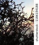 spike bush growing on the rocks ...   Shutterstock . vector #1186154188