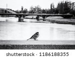 sparrow in the city. bird scene.... | Shutterstock . vector #1186188355