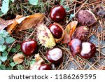 Heap Of Horse Chestnut Conkers...