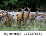 red deer  cervus elaphus  in... | Shutterstock . vector #1186276552
