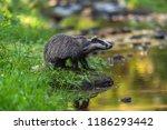 badger in forest  animal in... | Shutterstock . vector #1186293442