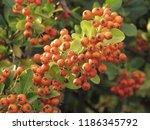 Fruits Of Scarlet Firethorn