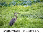 A Great Blue Heron Surrounded...