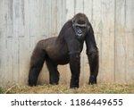 western lowland gorilla ... | Shutterstock . vector #1186449655