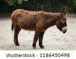 poitou donkey  equus asinus... | Shutterstock . vector #1186450498
