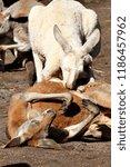 kangaroos in the australian... | Shutterstock . vector #1186457962