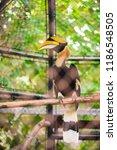 close up of great hornbill in... | Shutterstock . vector #1186548505