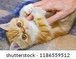 Little Kitten Exotic Breed...