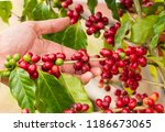 coffee beans ripening on tree... | Shutterstock . vector #1186673065