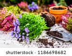 asters and autumn plant... | Shutterstock . vector #1186698682