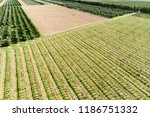 a large orchard  a sunny summer ... | Shutterstock . vector #1186751332