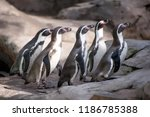 group of african cute penguins... | Shutterstock . vector #1186785388