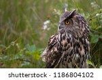 large european eagle own... | Shutterstock . vector #1186804102