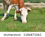 cow on a summer pasture | Shutterstock . vector #1186871062