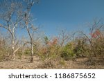 dry deciduous forest of flame... | Shutterstock . vector #1186875652
