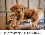 puppies lying down on pillow  ... | Shutterstock . vector #1186888378