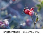rosehip leaves and berries with ... | Shutterstock . vector #1186962442