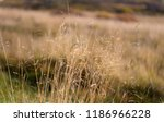 dry spikelets sunny autumn day...   Shutterstock . vector #1186966228