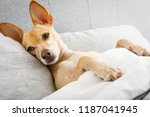 sick ill chihuahua dog in bed... | Shutterstock . vector #1187041945