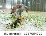 animal behaviour  wildlife... | Shutterstock . vector #1187054722