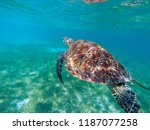 sea turtle in tropical seashore ... | Shutterstock . vector #1187077258