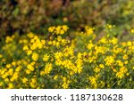 budding  yellow blooming and...   Shutterstock . vector #1187130628