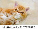 little kitten exotic breed... | Shutterstock . vector #1187197372