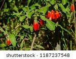 ripe goji berries in green... | Shutterstock . vector #1187237548