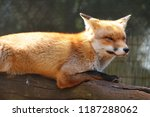 a european red fox. | Shutterstock . vector #1187288062