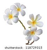 Stock photo white frangipani flower isolated white 118729315