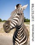 portrait of plains zebra  equus ... | Shutterstock . vector #1187327788