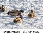 Four Ducks Mallard On White...