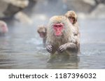 Some Macaque Apes Take A Bath...