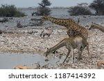 some giraffe is looking for...   Shutterstock . vector #1187414392