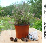Pot with the planted bush of heather on a wooden table on a background a garden - stock photo