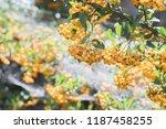bush of a yellow hawthorn   Shutterstock . vector #1187458255