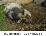 Pot Belly Pig  Sus Scrofa...