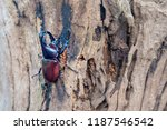 a brown male rhinoceros  rhino... | Shutterstock . vector #1187546542